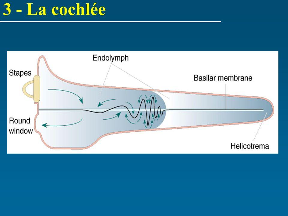 3 - La cochlée