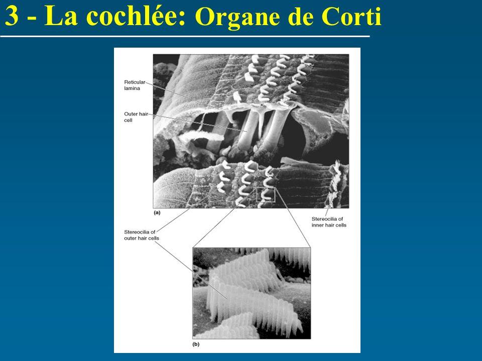3 - La cochlée: Organe de Corti