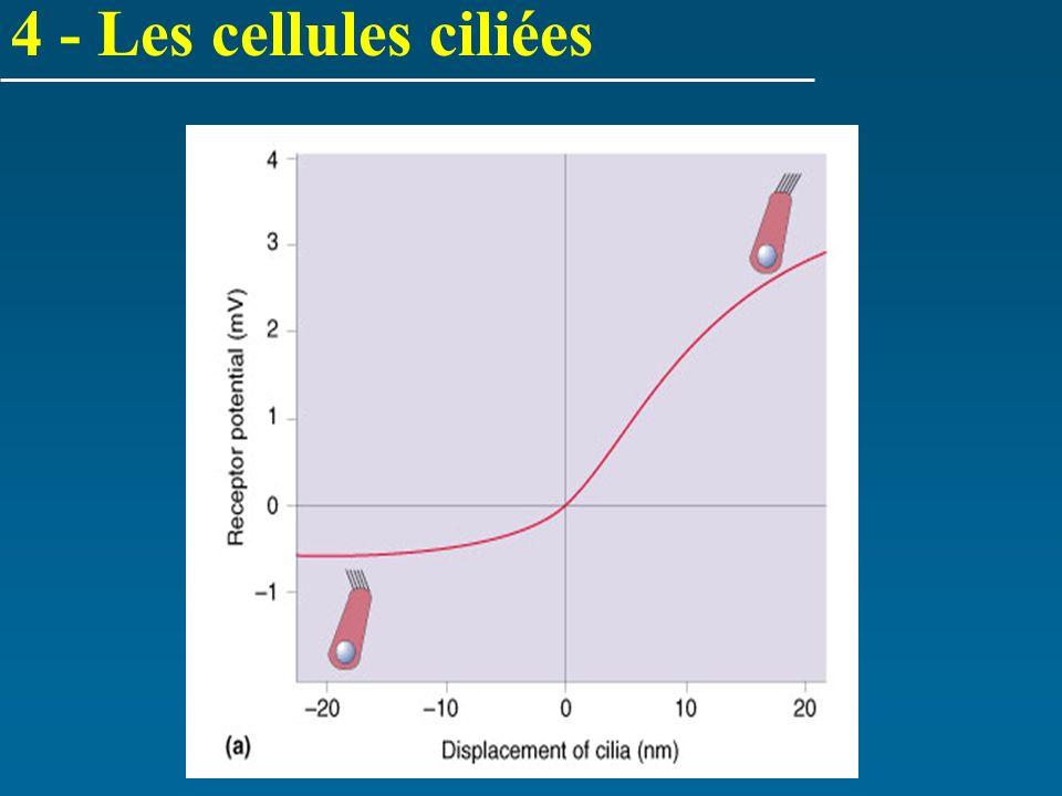 4 - Les cellules ciliées