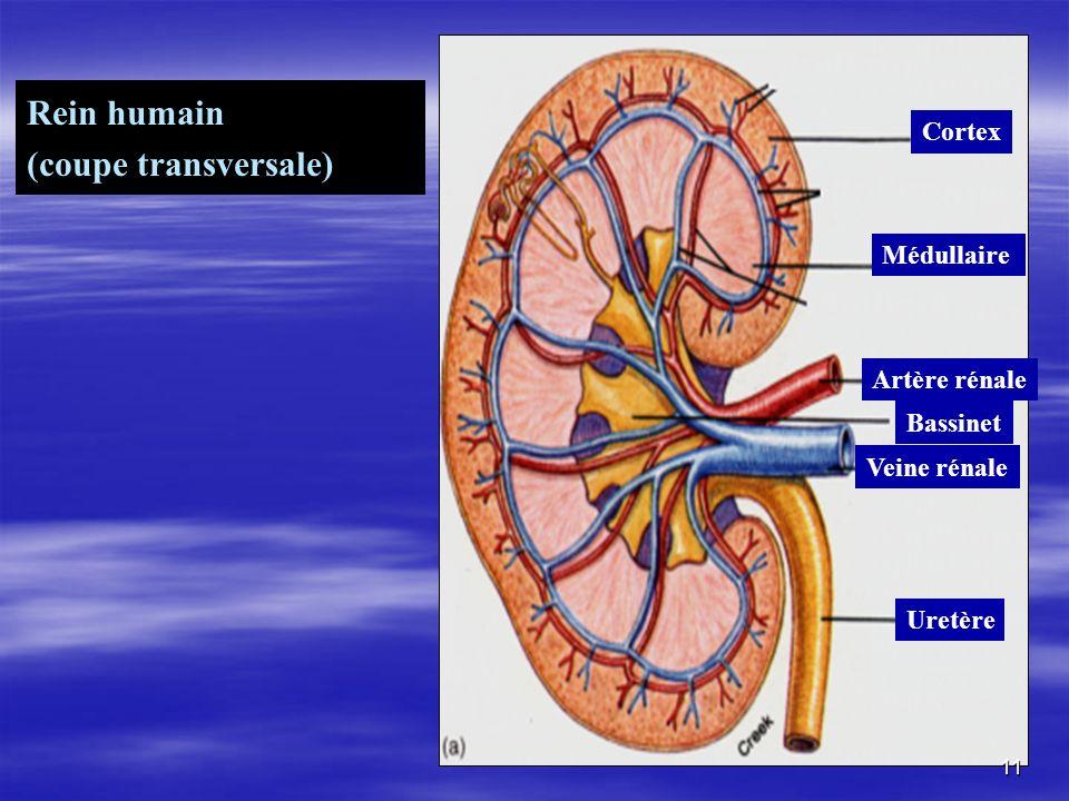 Rein humain (coupe transversale) Cortex Médullaire Artère rénale