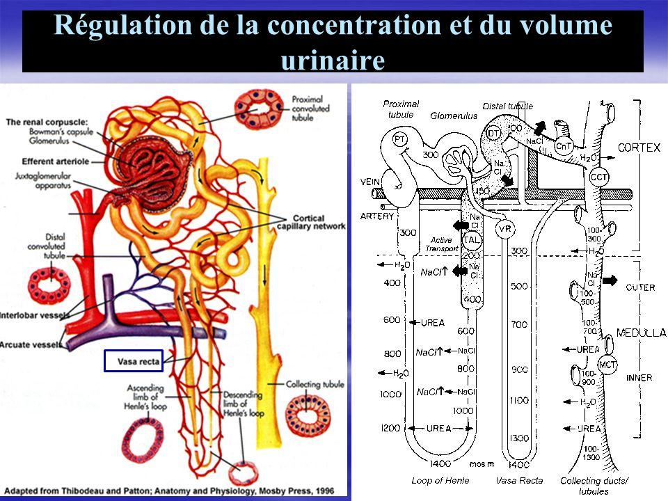 Régulation de la concentration et du volume urinaire