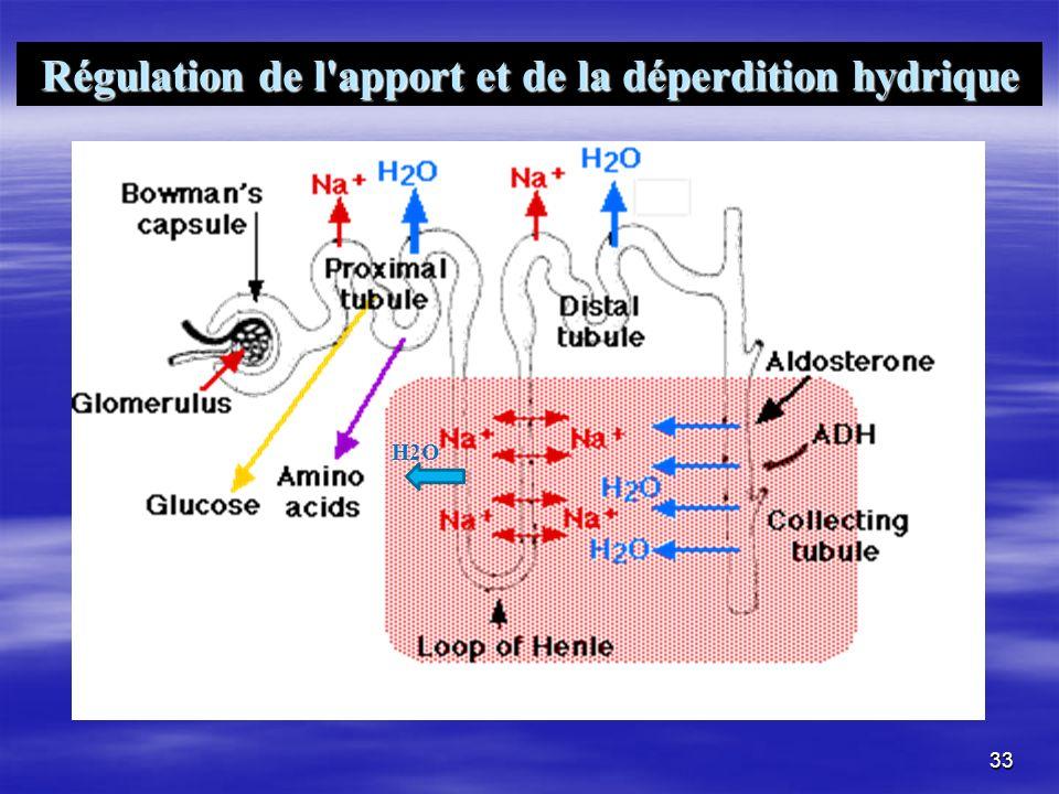Régulation de l apport et de la déperdition hydrique