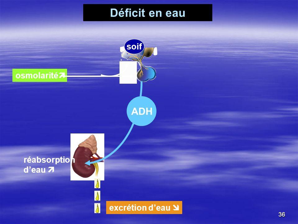 Déficit en eau ADH soif osmolarité réabsorption d'eau 