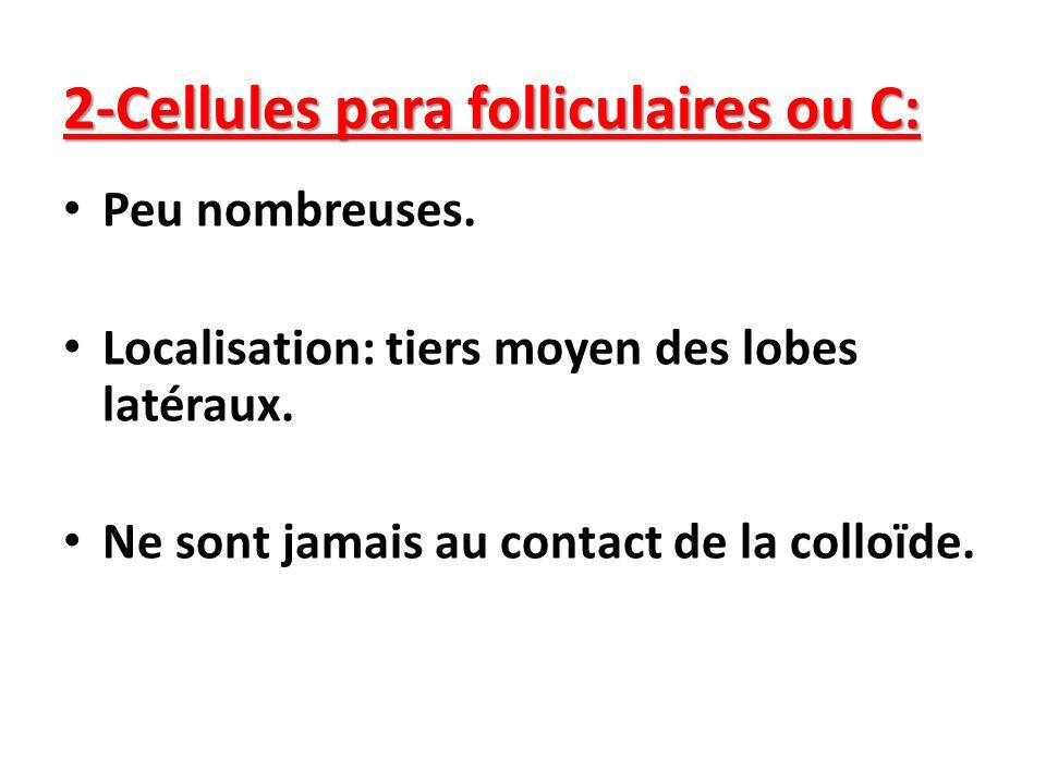 2-Cellules para folliculaires ou C: