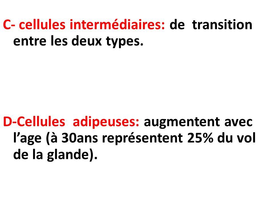 C- cellules intermédiaires: de transition entre les deux types