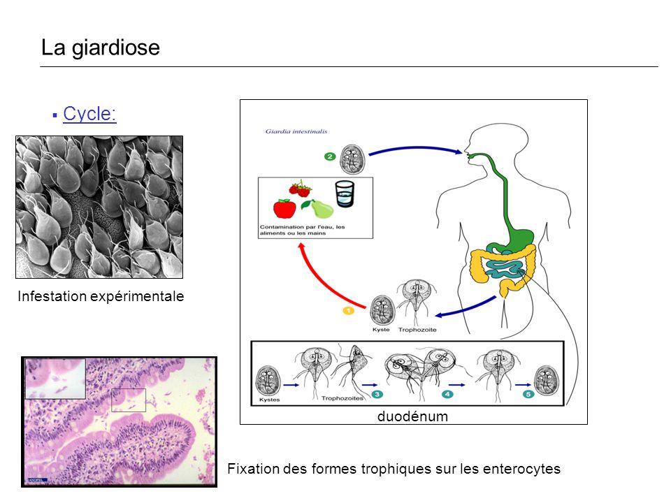 La giardiose Cycle: Infestation expérimentale duodénum