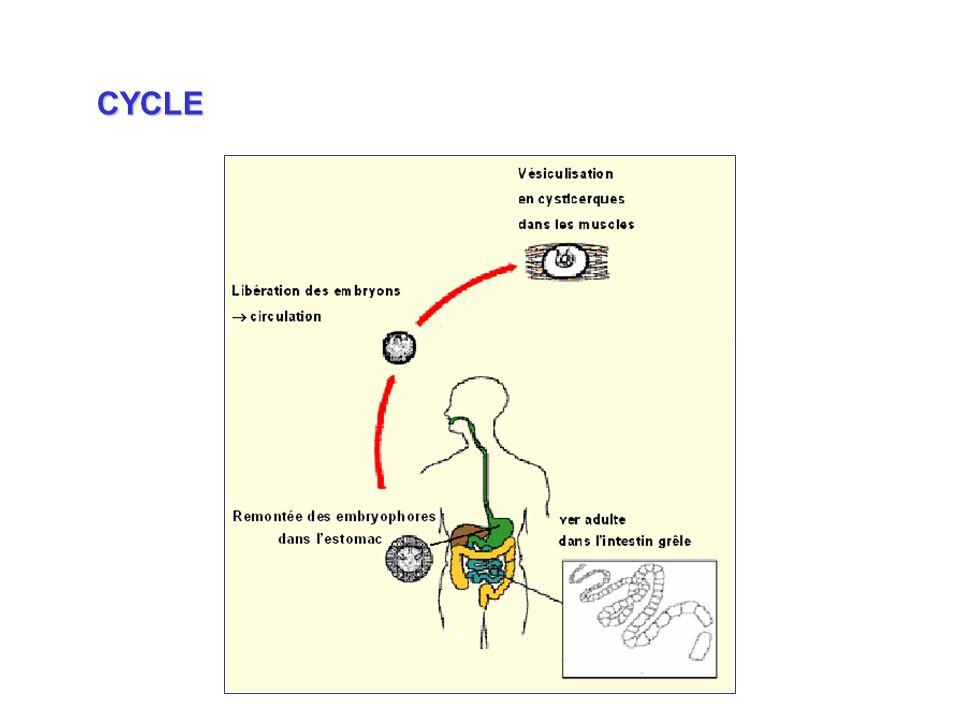 CYCLE Remontée des embryophores dans l'estomac