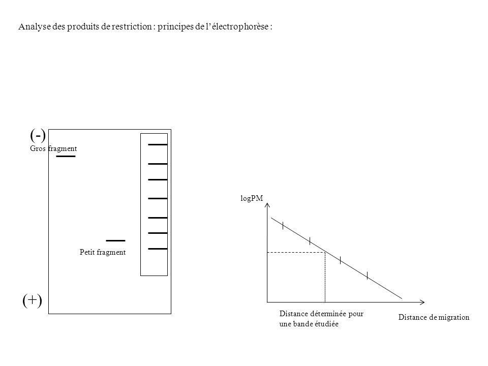 Analyse des produits de restriction : principes de l'électrophorèse :