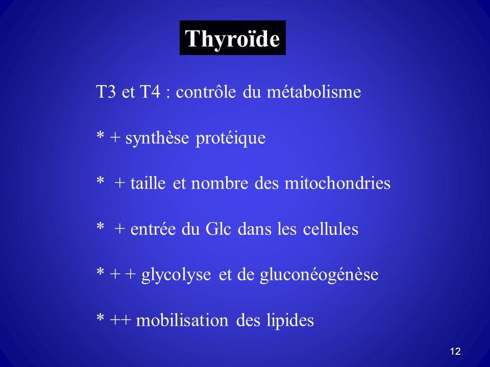 Thyroïde T3 et T4 : contrôle du métabolisme * + synthèse protéique