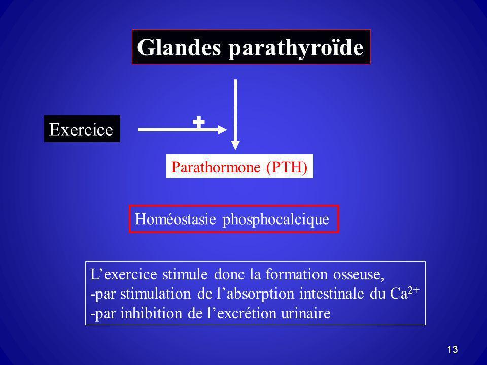 Glandes parathyroïde Exercice  Parathormone (PTH)