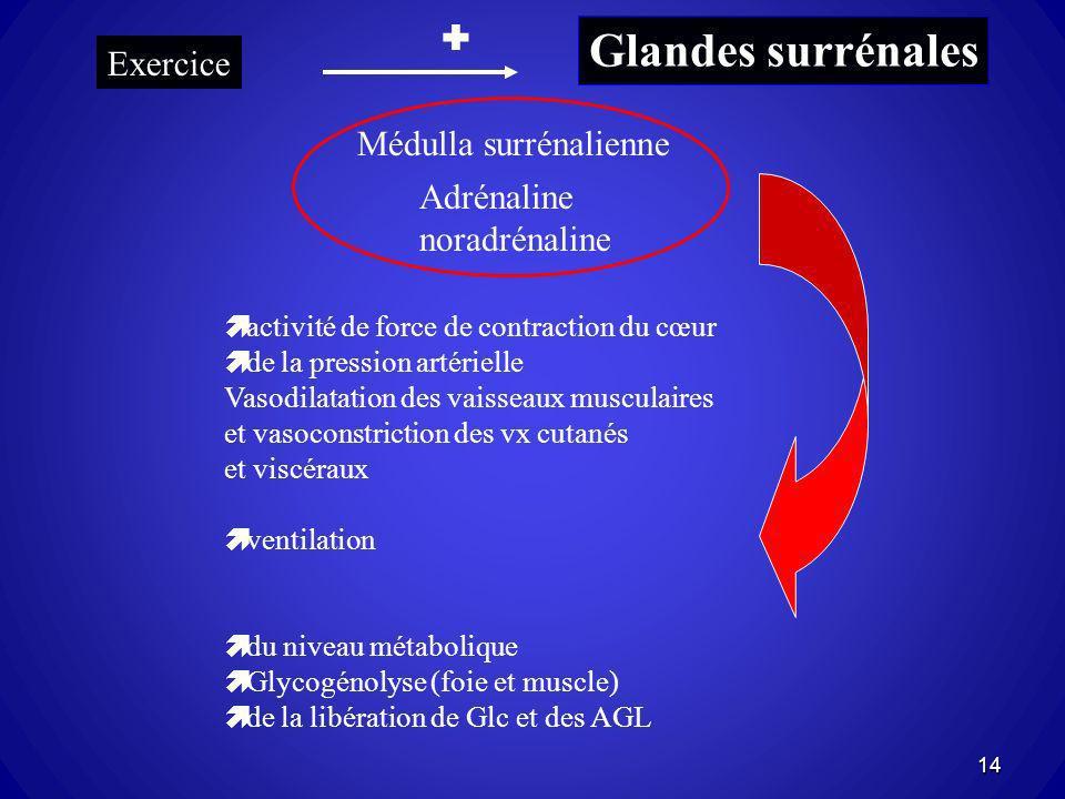 Glandes surrénales  Exercice Médulla surrénalienne Adrénaline