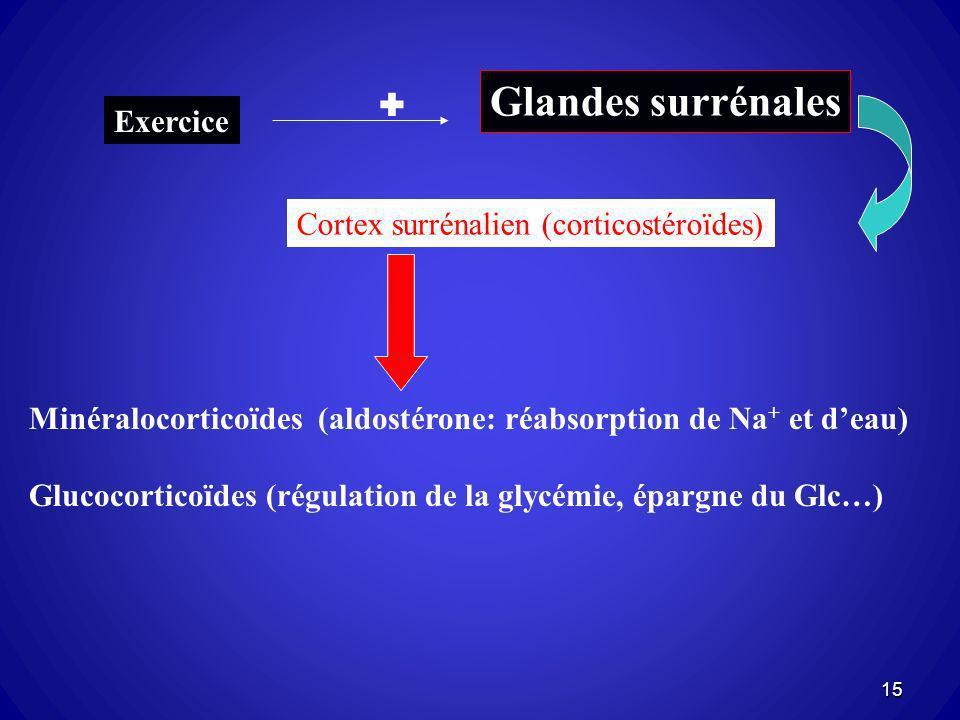 Glandes surrénales  Exercice Cortex surrénalien (corticostéroïdes)