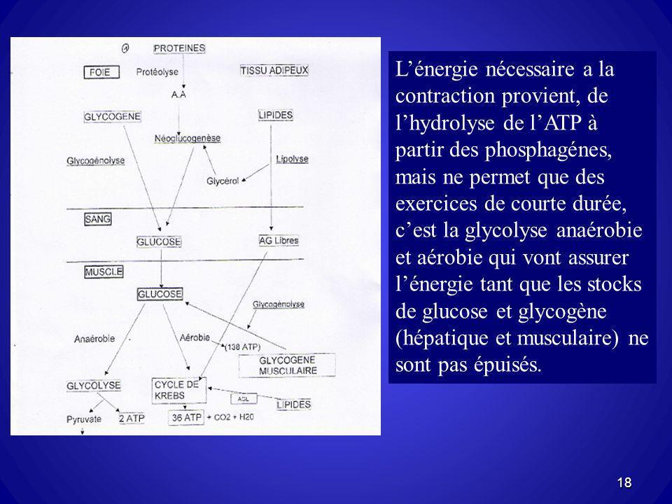 L'énergie nécessaire a la contraction provient, de l'hydrolyse de l'ATP à partir des phosphagénes, mais ne permet que des exercices de courte durée, c'est la glycolyse anaérobie et aérobie qui vont assurer l'énergie tant que les stocks de glucose et glycogène