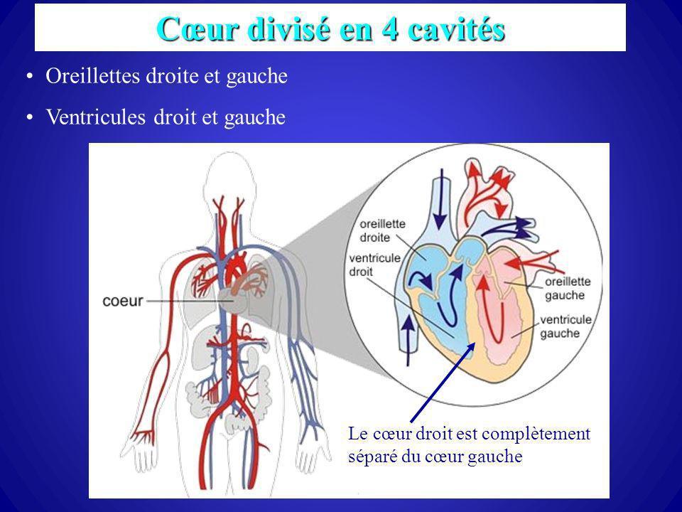 Cœur divisé en 4 cavités Oreillettes droite et gauche