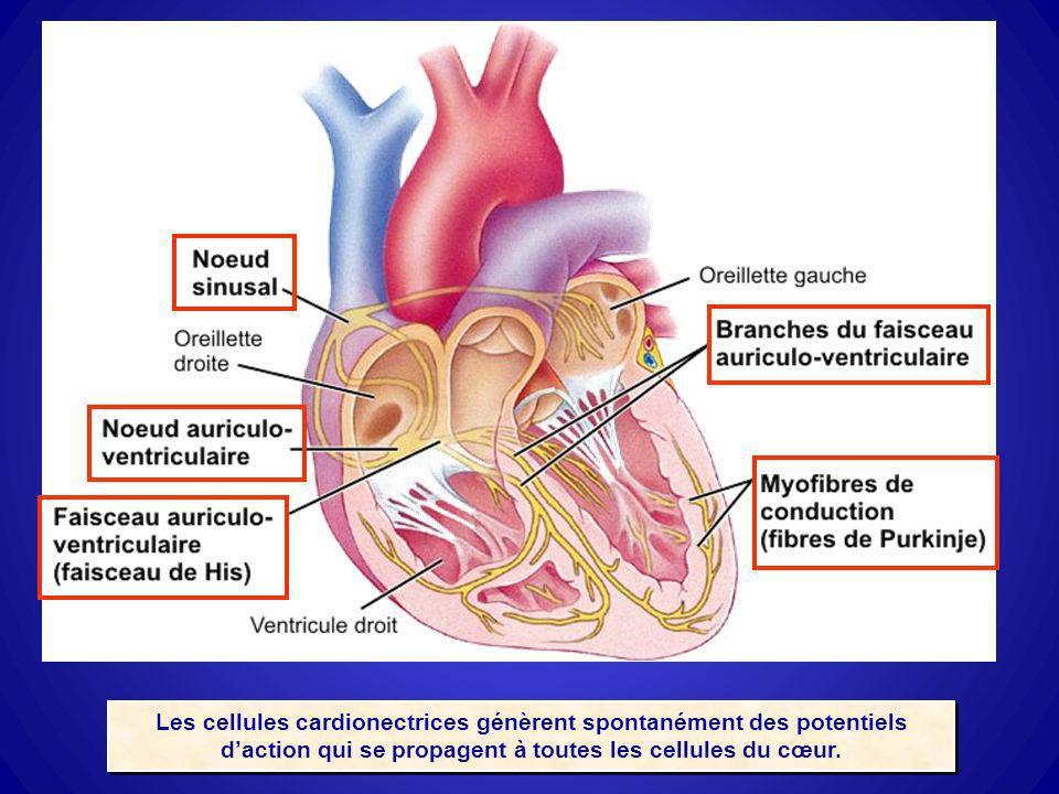 Les cellules cardionectrices génèrent spontanément des potentiels d'action qui se propagent à toutes les cellules du cœur.