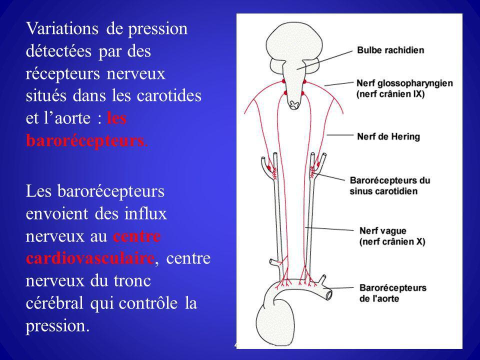 Variations de pression détectées par des récepteurs nerveux situés dans les carotides et l'aorte : les barorécepteurs.