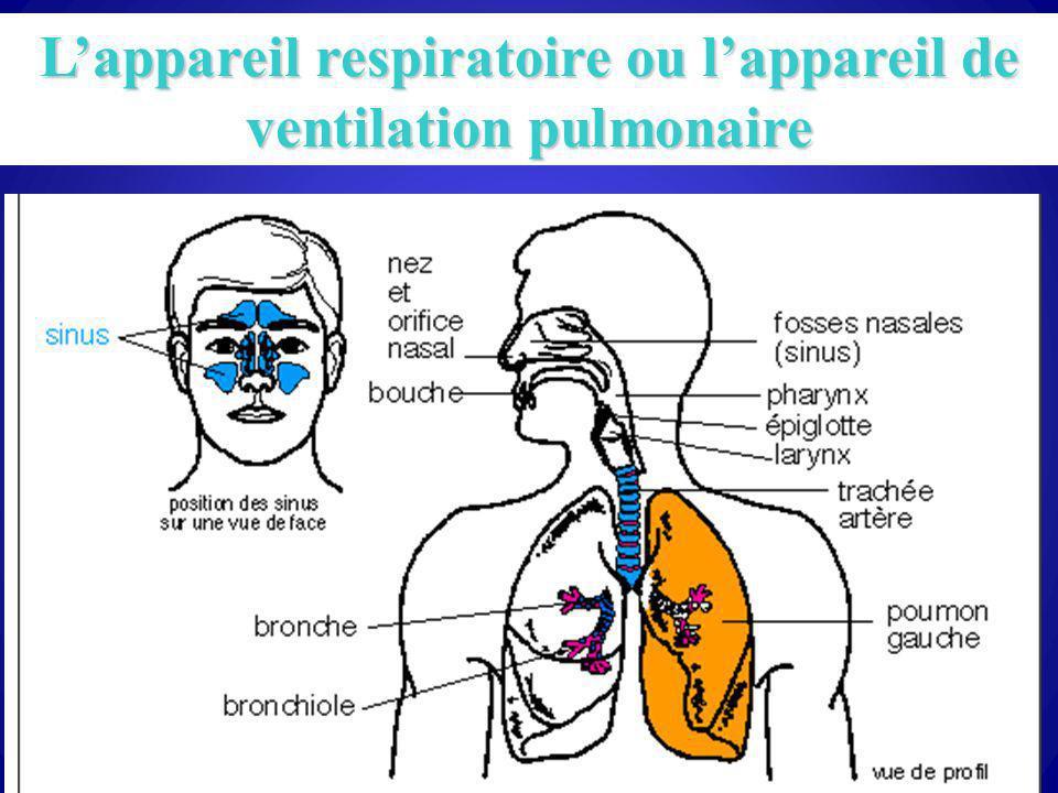 L'appareil respiratoire ou l'appareil de ventilation pulmonaire