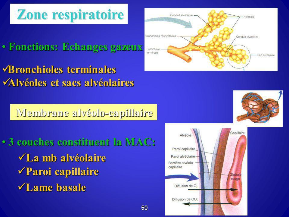Zone respiratoire Fonctions: Echanges gazeux Bronchioles terminales