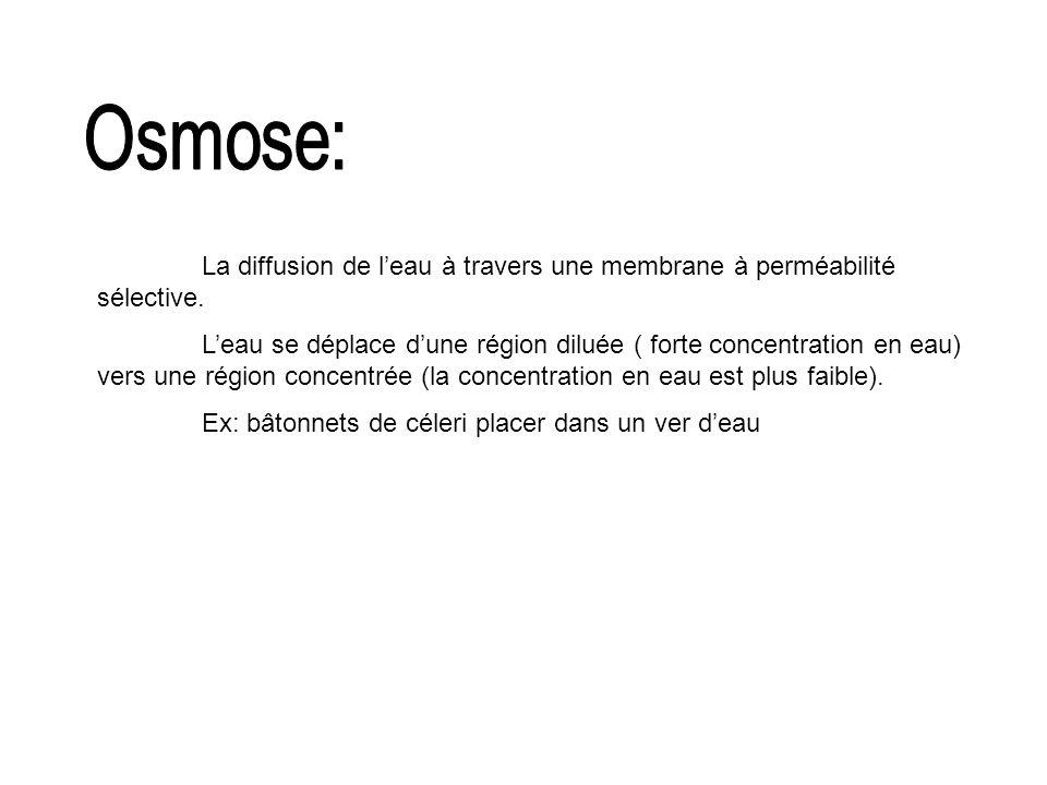 Osmose: La diffusion de l'eau à travers une membrane à perméabilité sélective.
