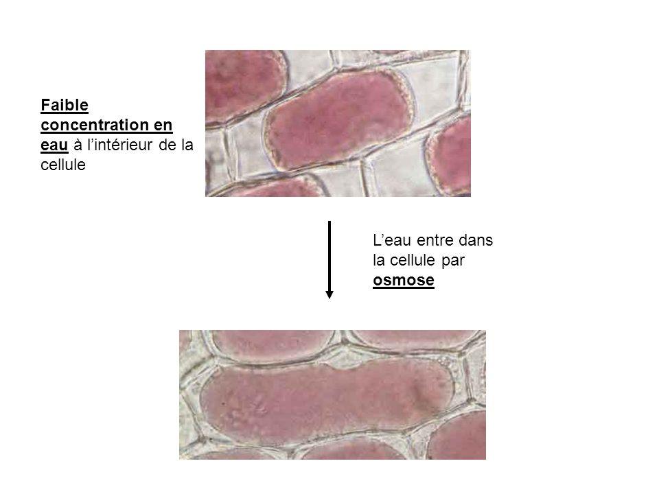 Faible concentration en eau à l'intérieur de la cellule