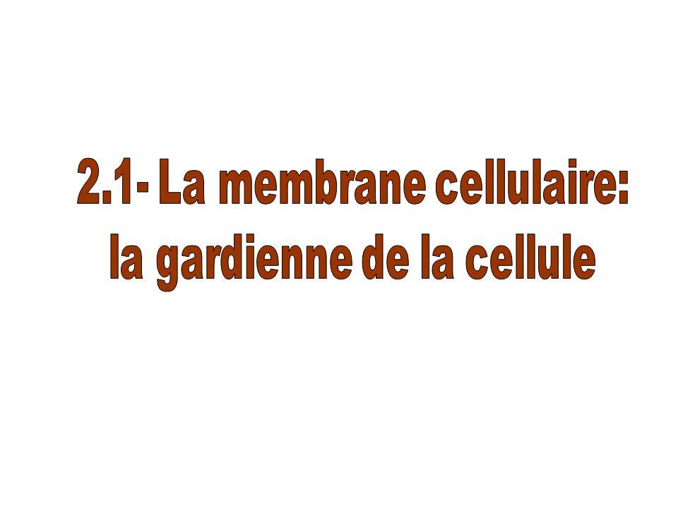 2.1- La membrane cellulaire: la gardienne de la cellule