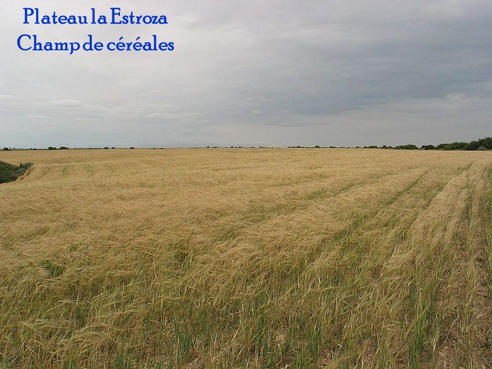 Plateau la Estroza Champ de céréales