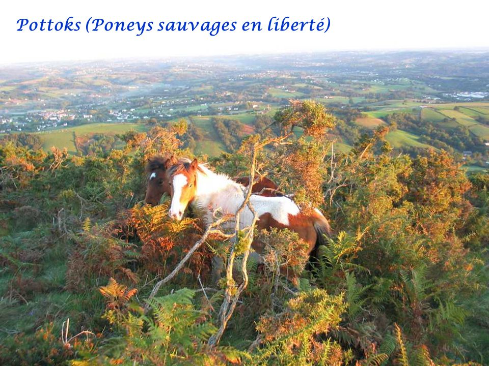 Pottoks (Poneys sauvages en liberté)