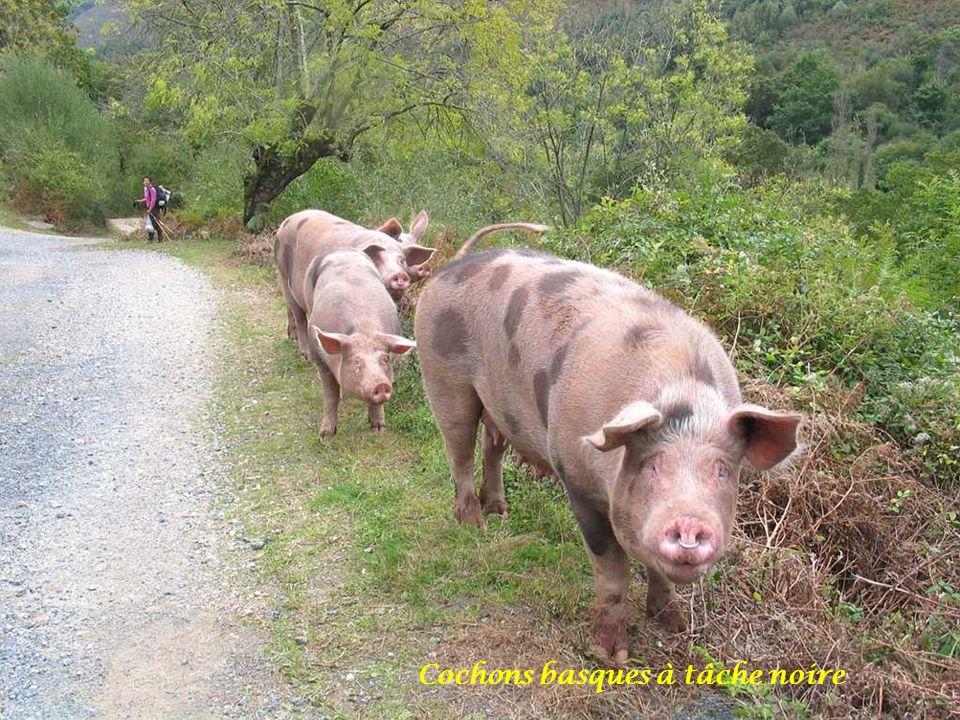 Cochons basques à tâche noire