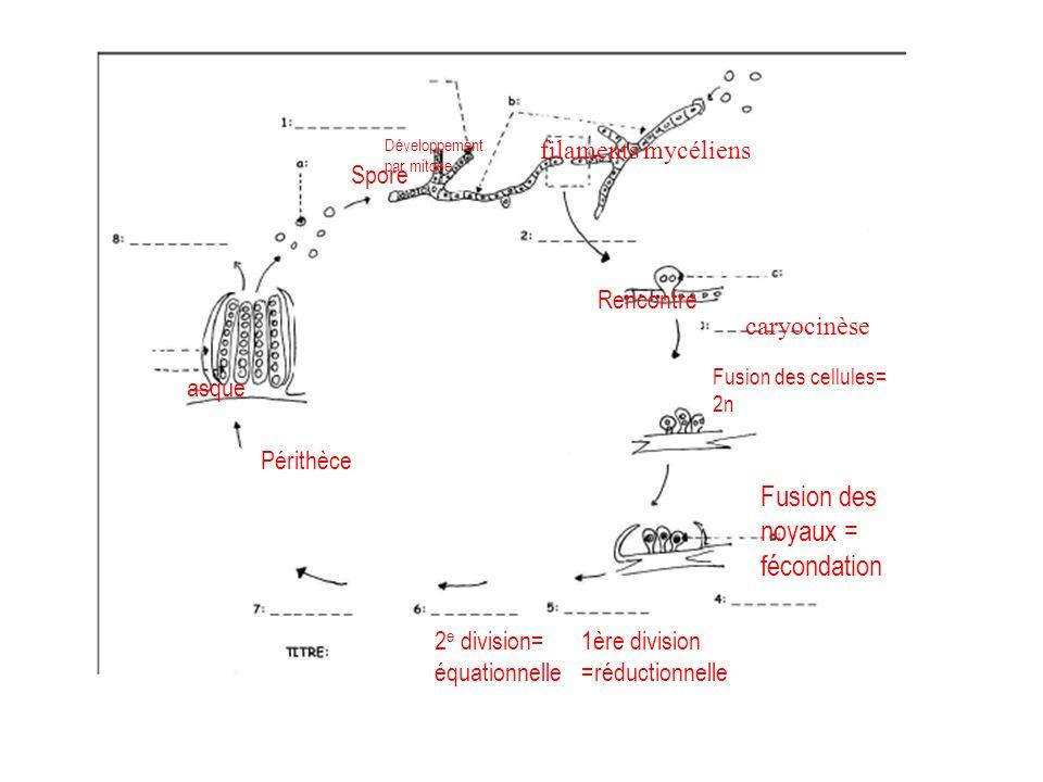 Fusion des noyaux = fécondation
