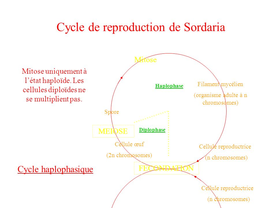 Cycle de reproduction de Sordaria