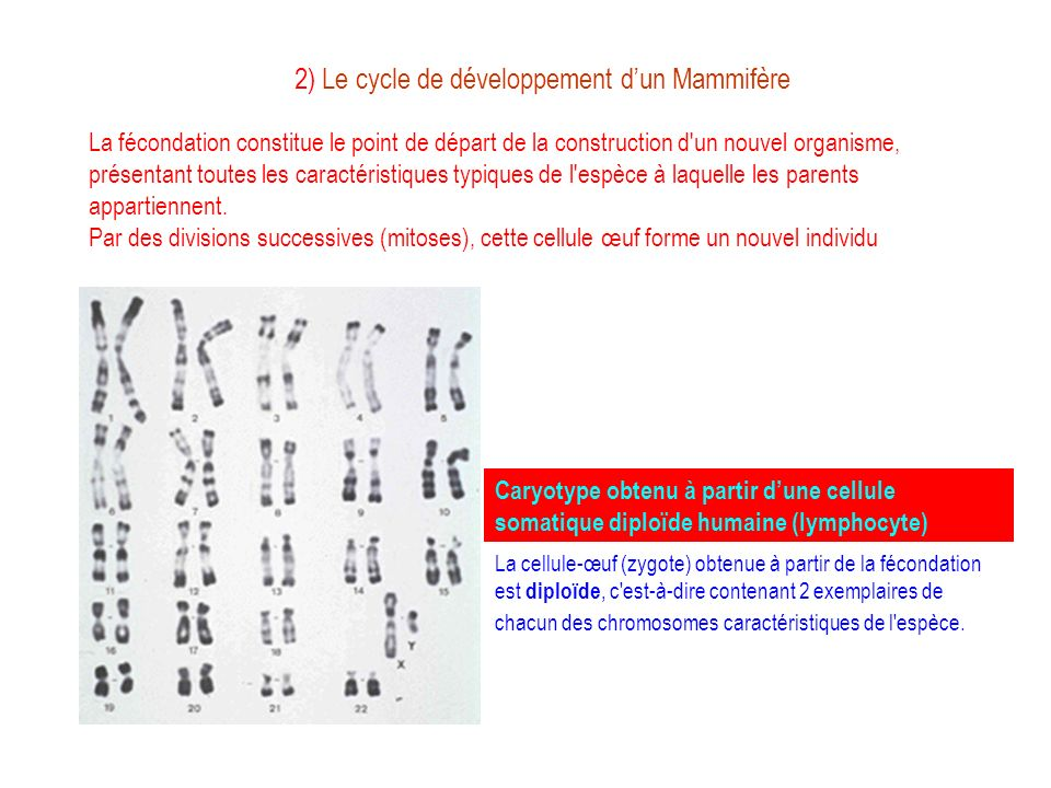 2) Le cycle de développement d'un Mammifère