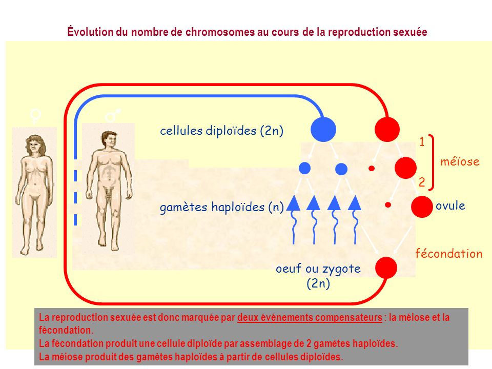 Évolution du nombre de chromosomes au cours de la reproduction sexuée