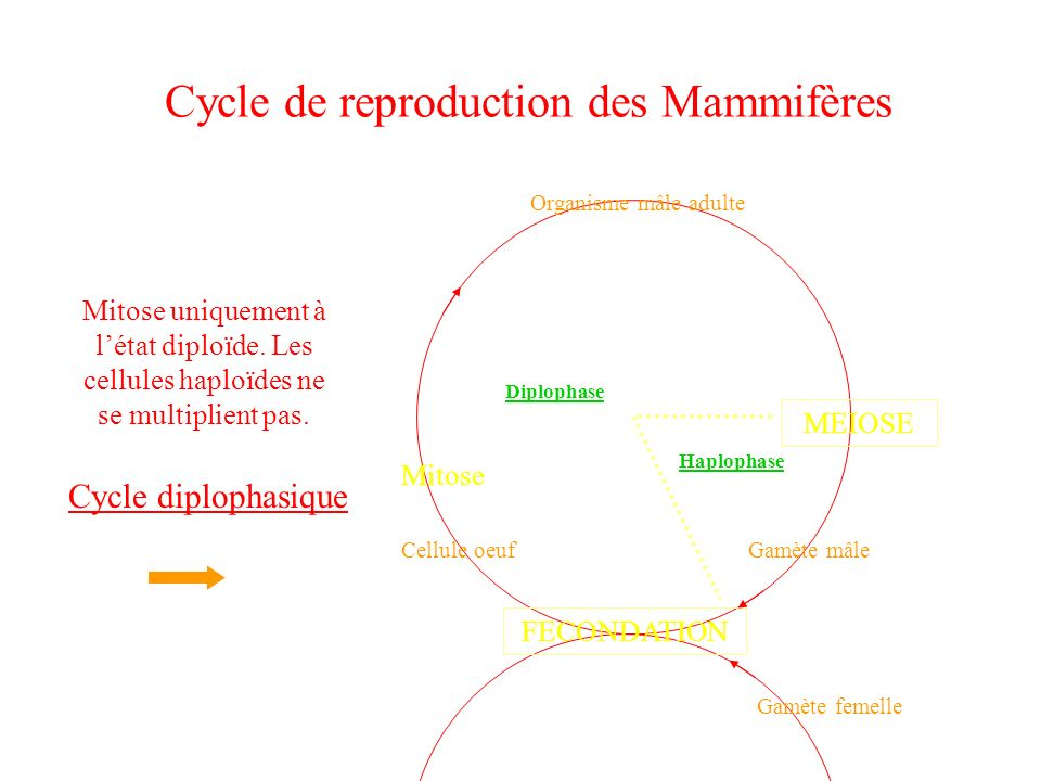 Cycle de reproduction des Mammifères