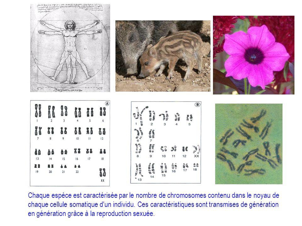 Chaque espèce est caractérisée par le nombre de chromosomes contenu dans le noyau de chaque cellule somatique d un individu.