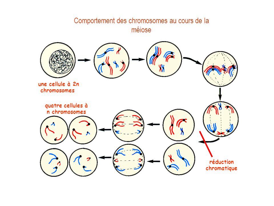 Comportement des chromosomes au cours de la méiose