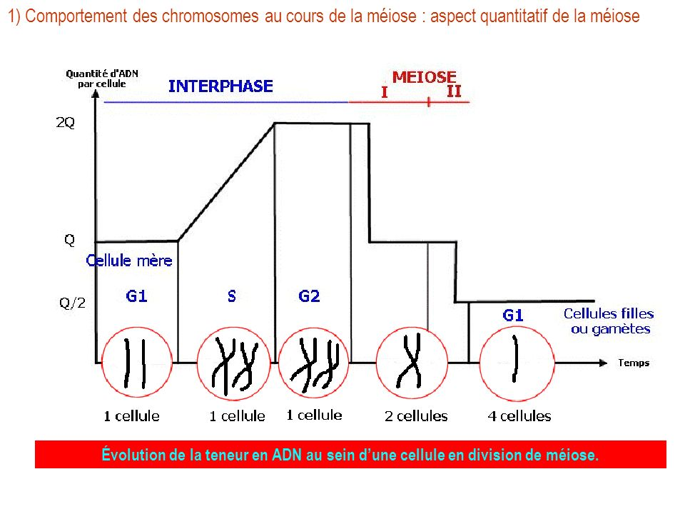 1) Comportement des chromosomes au cours de la méiose : aspect quantitatif de la méiose