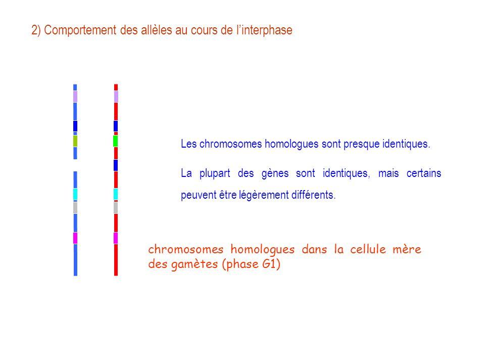 2) Comportement des allèles au cours de l'interphase