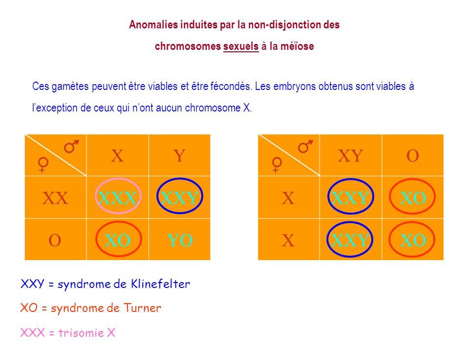 XXY = syndrome de Klinefelter