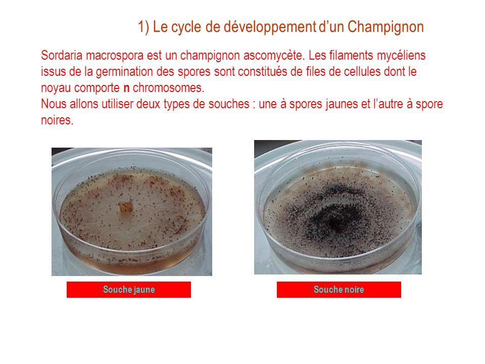1) Le cycle de développement d'un Champignon