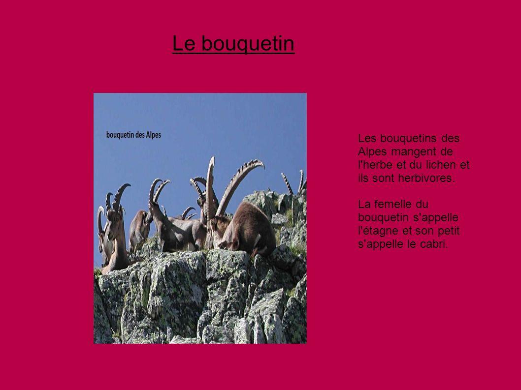 Le bouquetin Les bouquetins des Alpes mangent de l herbe et du lichen et ils sont herbivores.