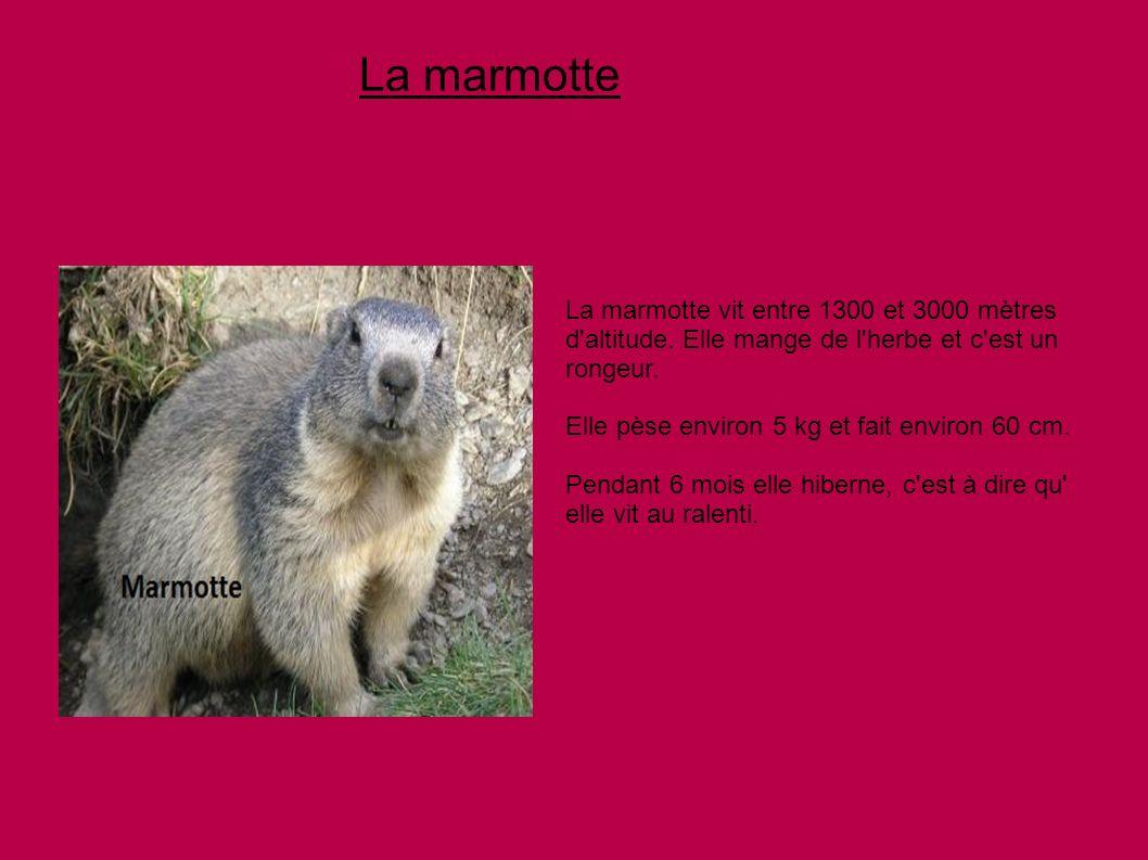 La marmotte La marmotte vit entre 1300 et 3000 mètres d altitude. Elle mange de l herbe et c est un rongeur.