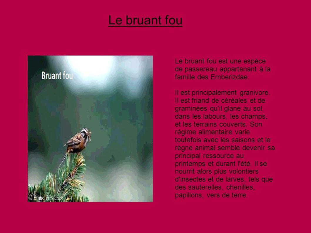 Le bruant fouLe bruant fou est une espèce de passereau appartenant à la famille des Emberizdae.