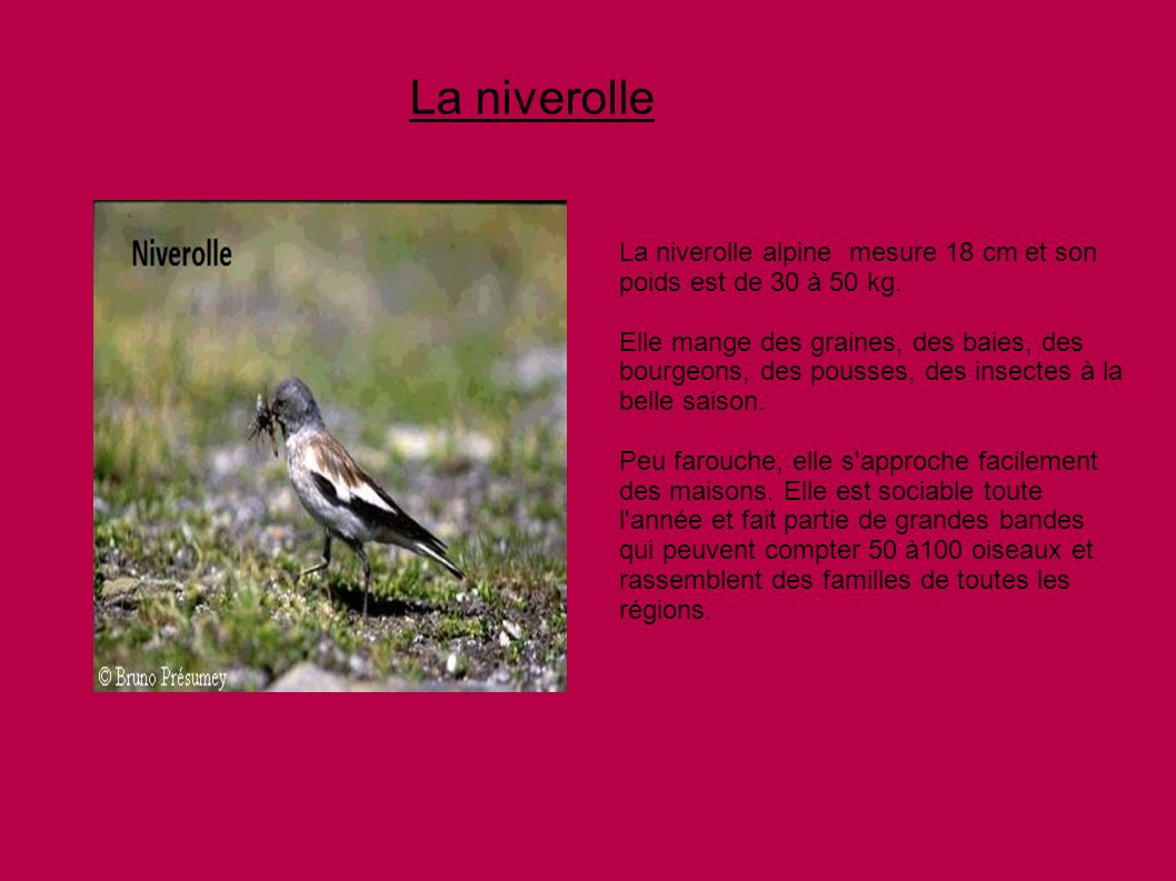 La niverolle La niverolle alpine mesure 18 cm et son poids est de 30 à 50 kg.