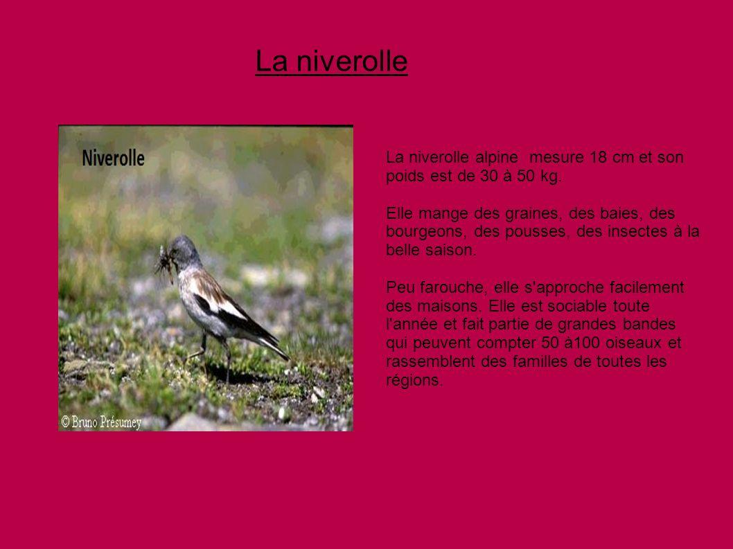La niverolleLa niverolle alpine mesure 18 cm et son poids est de 30 à 50 kg.