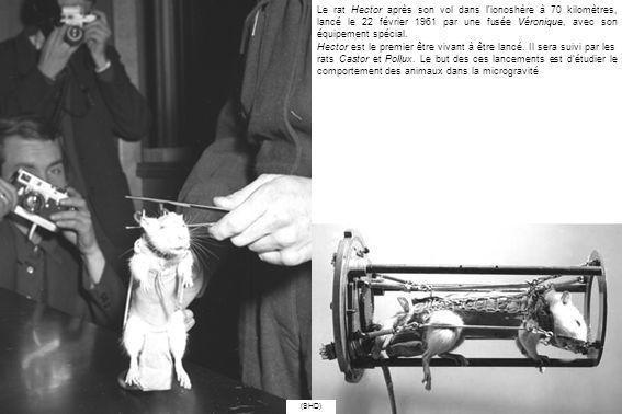 Le rat Hector après son vol dans l ionoshère à 70 kilomètres, lancé le 22 février 1961 par une fusée Véronique, avec son équipement spécial.