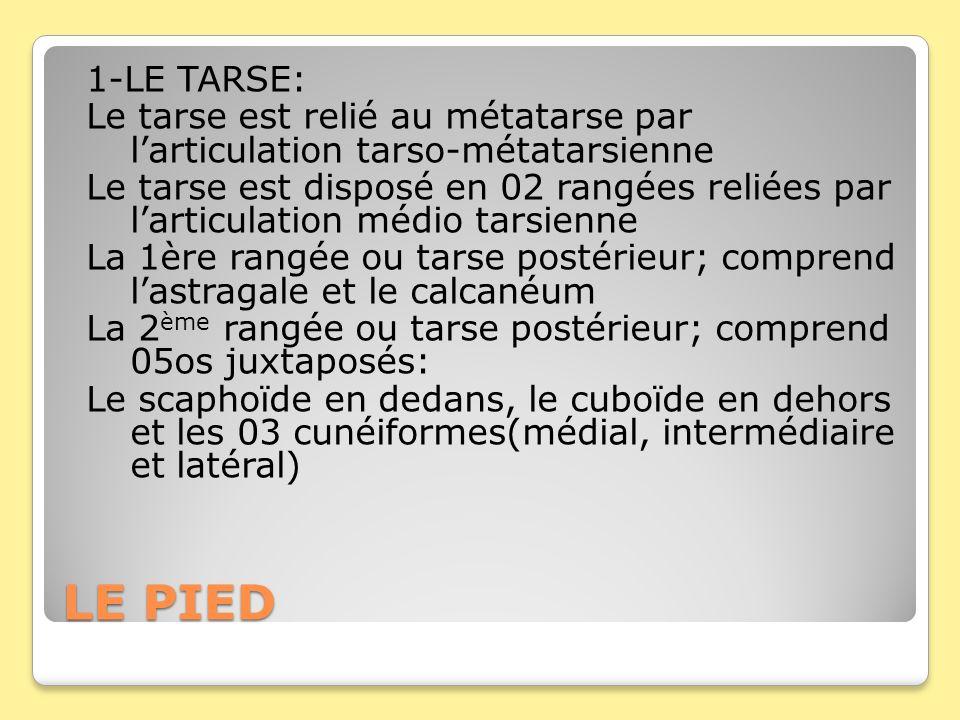 1-LE TARSE: Le tarse est relié au métatarse par l'articulation tarso-métatarsienne Le tarse est disposé en 02 rangées reliées par l'articulation médio tarsienne La 1ère rangée ou tarse postérieur; comprend l'astragale et le calcanéum La 2ème rangée ou tarse postérieur; comprend 05os juxtaposés: Le scaphoïde en dedans, le cuboïde en dehors et les 03 cunéiformes(médial, intermédiaire et latéral)