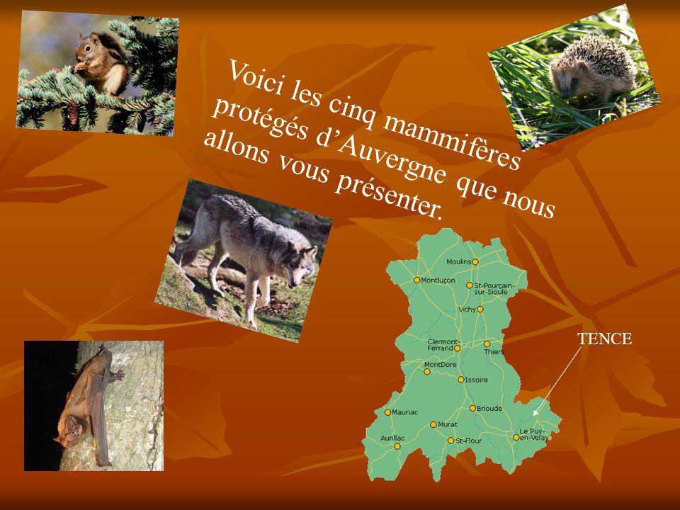 Voici les cinq mammifères protégés d'Auvergne que nous allons vous présenter.