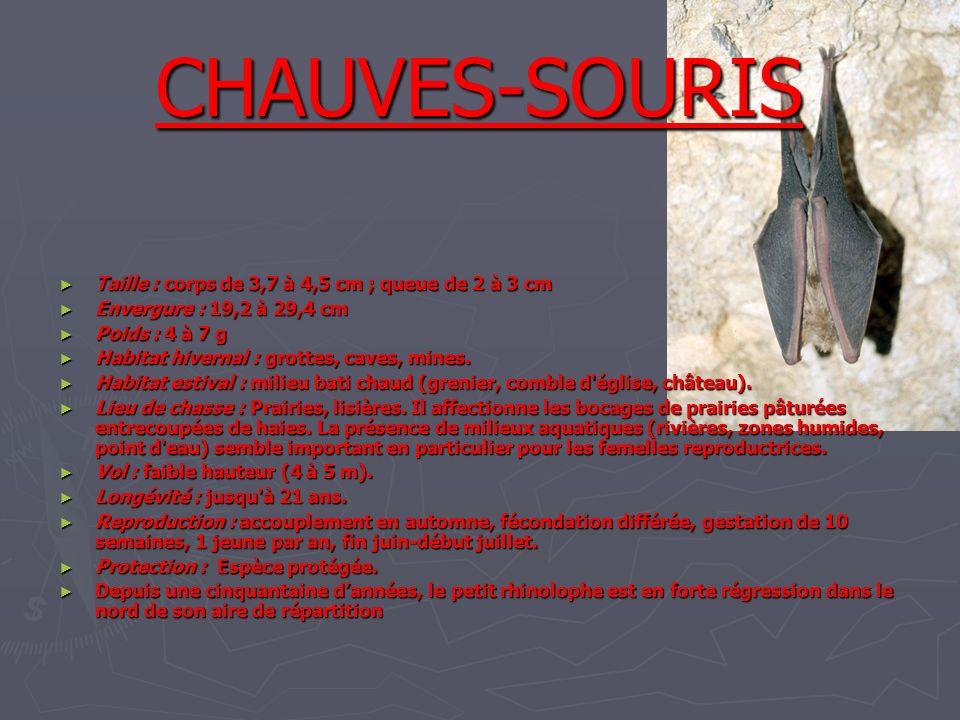 CHAUVES-SOURIS Taille : corps de 3,7 à 4,5 cm ; queue de 2 à 3 cm