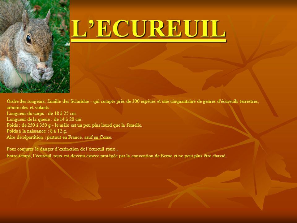 L'ECUREUIL Ordre des rongeurs, famille des Sciuridae - qui compte près de 300 espèces et une cinquantaine de genres d écureuils terrestres,