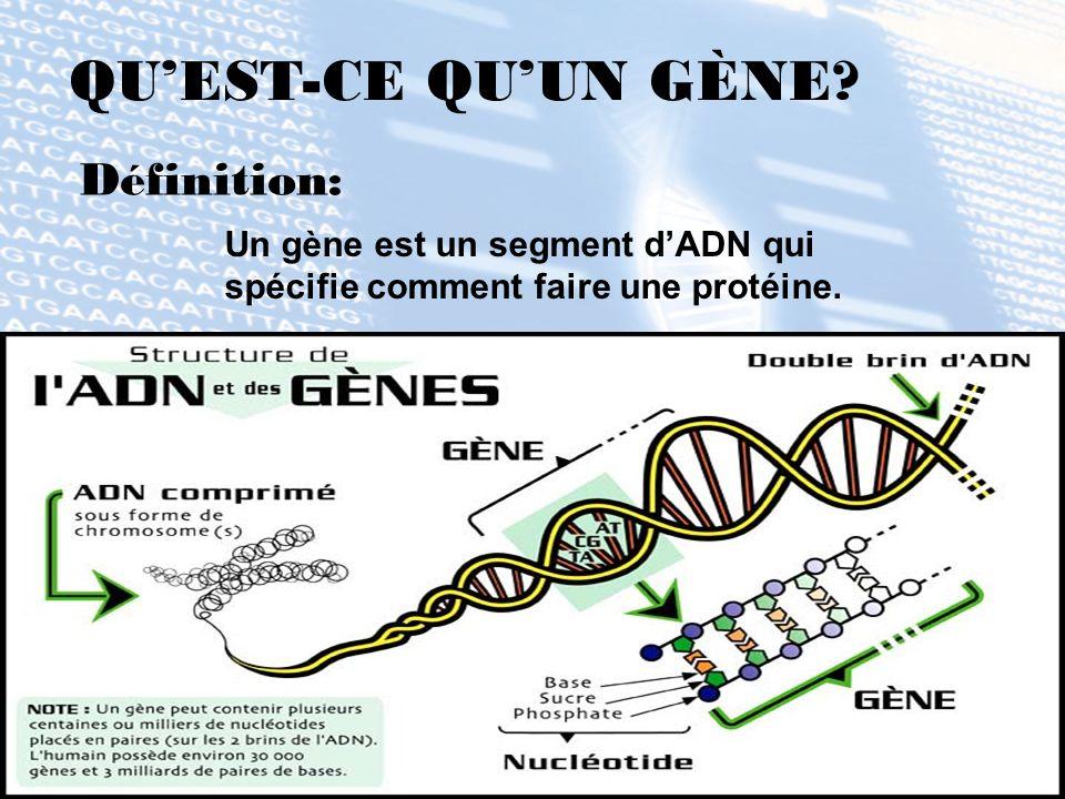 QU'EST-CE QU'UN GÈNE Définition: Un gène est un segment d'ADN qui